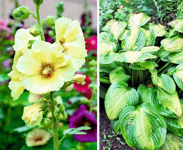 Шток-роза слева и хоста - справа
