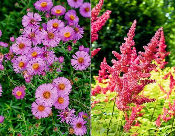 Цветки астры альпийской (слева) напоминают неброские маргаритки. Справа - астильба