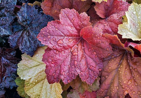 Гейхера поражает многообразием оттенков эффектных резных листьев