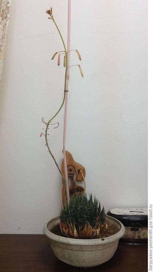 цветок,вроде кактус,цвтет, как называется