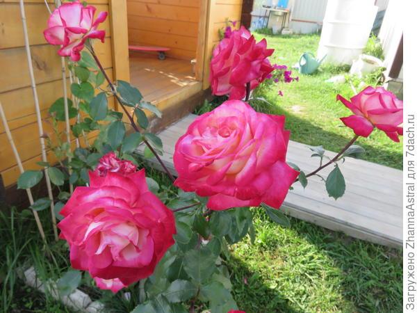 Роза Дэсс