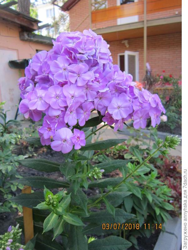"""Прошлогодний флокс из"""" Садового мира """"Крупный цветок и очень душистый."""