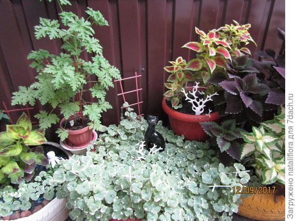 Нас очень спасают колеусы, все остальные растения не выдерживают нашего отсутствия света.