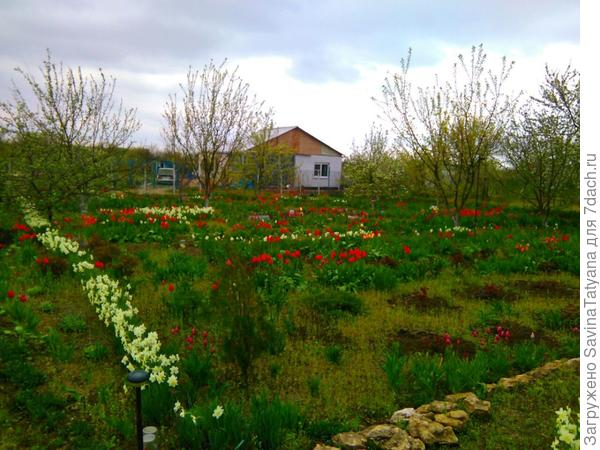 Снова тюльпаны