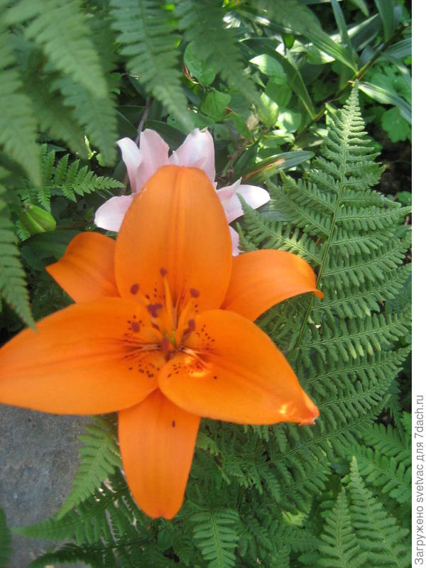 А так они цвели в саду после посадки из горшка в грунт
