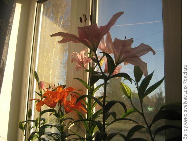 На окне цветут
