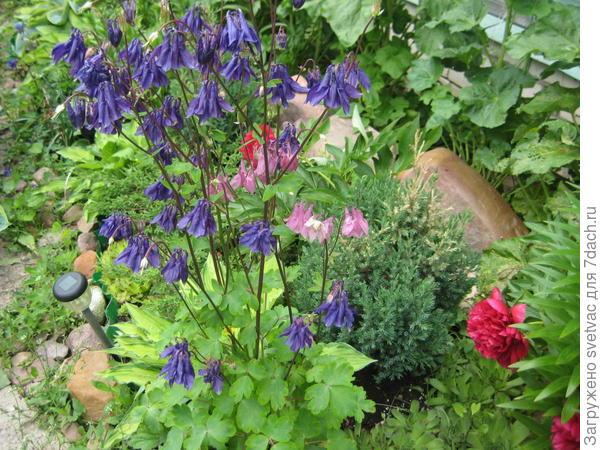 Вот обычные, цветут себе потихонечку, шмели их просто обожают. Растут как сорняк, везде.