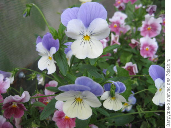 Посадила с торца теплицы, чтоб сорняки не росли, в тени расцветки не такие яркие, но цветут с весны до зимы.