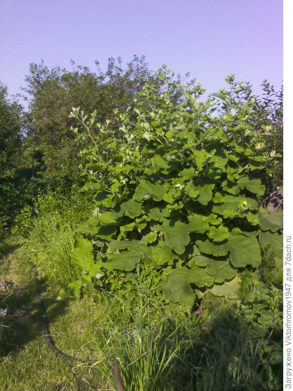 Что за колючки вырастают у нас на даче.Цветут красиво,листья-огромные лопухи.