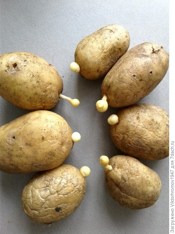 Что с картофелем?Сорт Невский,урожай был отличный.Достал семенной из погреба и...удивлён?Другие сорта сохранились отлично.Что делать,как поступить?Болезнь это или нет.Сажались клубеньки(элита)