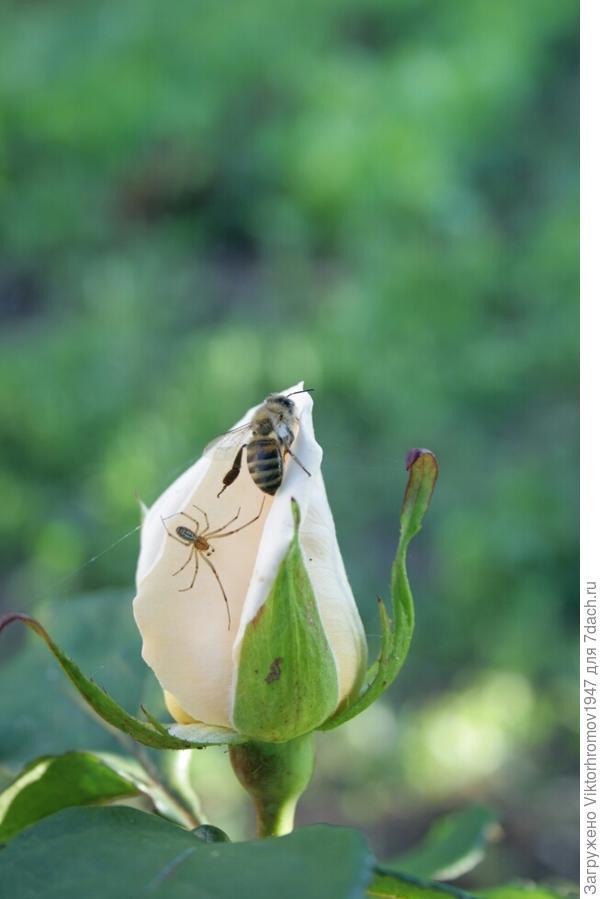 Роза ещё не раскрылась, а сладкий аромат  привлекает всех любителей мёда.