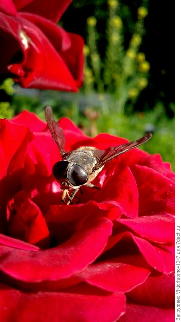 Размер больше пчелы.