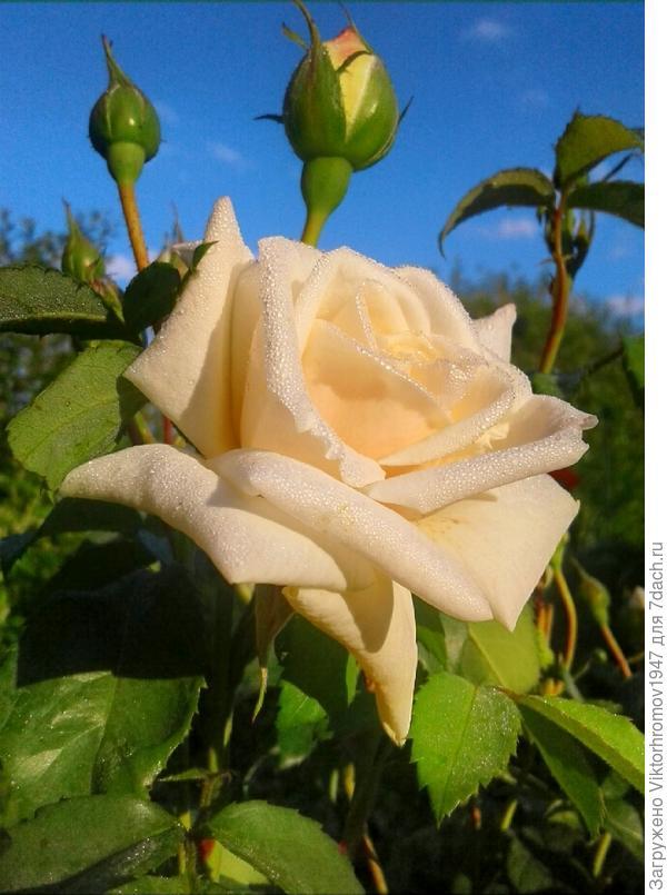 Мы очень любим розы. У жены их две грядки.