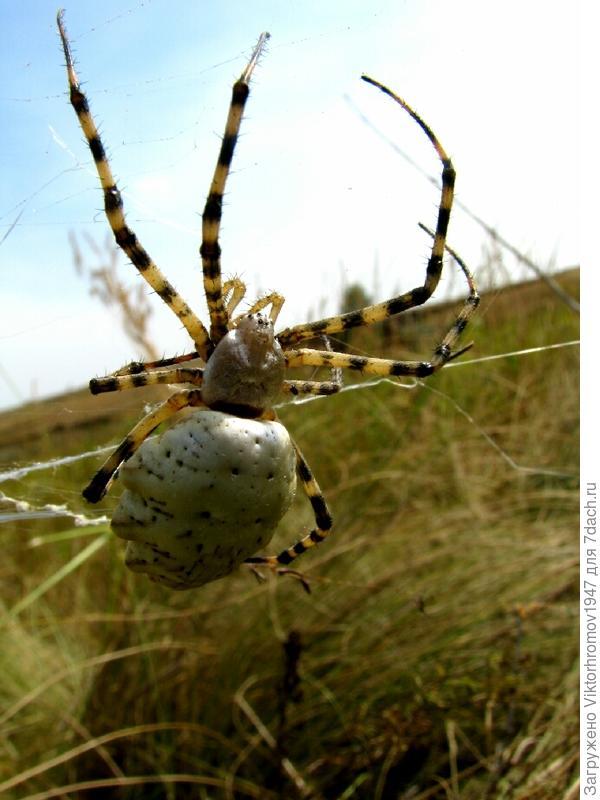 Кажется его зовут - паук Оса или паук Зебра
