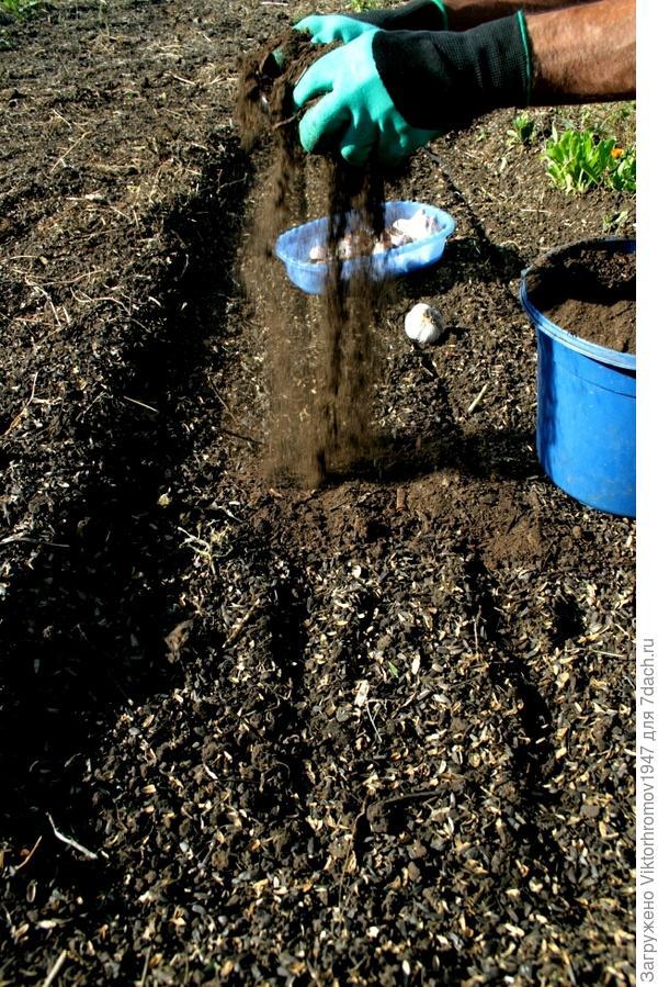 Затем засыпали  грядку поверху посадки перегноем. Это нужно для удобрения и укрытием от мороза. Поздней осенью ещё чем нибудь прикроем.