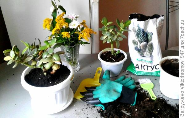 """На фото наша пересаженная """"Толстяночка"""" и за ней стоит следующий  цветок,ждущий свою очередь за свежим грунтом и новым горшочком. Все соседи по даче следят за нашими испытаниями, с интересом разглядывают и интересуются, как и где приобрести такие уже ставшие необходимыми рукавицы с клыками от фирмы Garden Genie Gloves."""