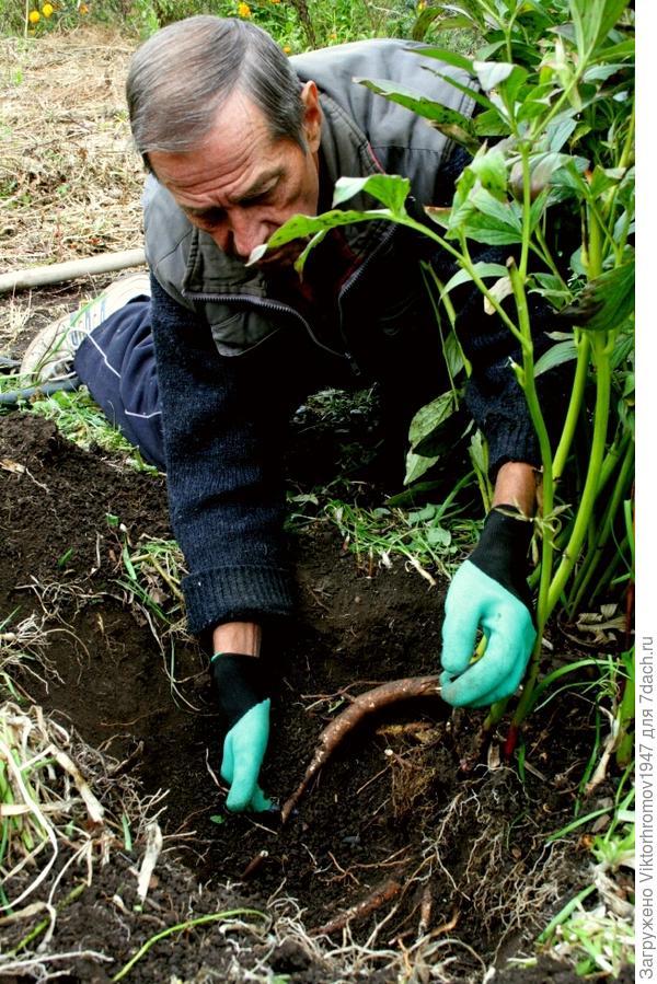 Наконец то откопали нужную часть корней, достаточной длинны и очистив верхнию часть, отрезали корневище в нужном месте