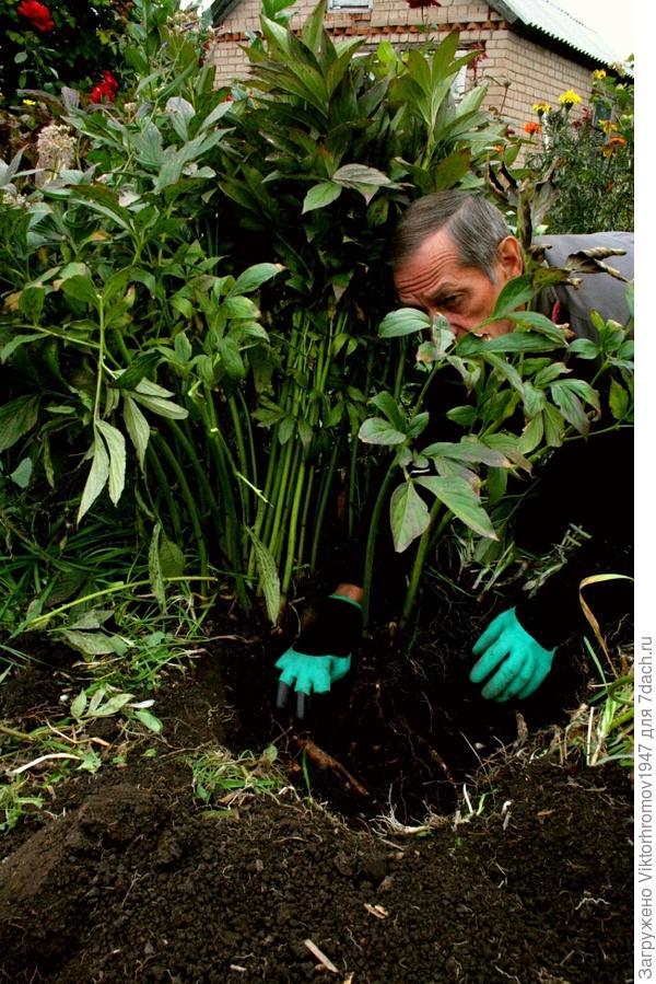 Ну что же нужно выкапывать. Что-бы не повредить хрупкие корни, мы решили использовать руковицы с клыками фирмы Garden Genie Gloves