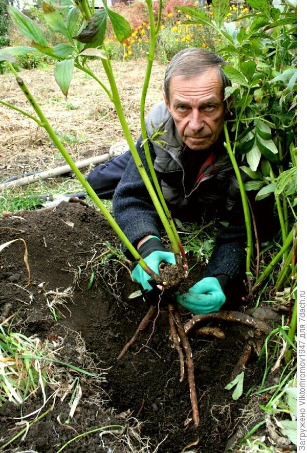 Присыпали корни свежей землёй смешанной с перегноем и удобрением. Засыпали землёй и обильно полили. Нам удалось, при помощи рукавиц с клыками, пускай медленно (мешали корни) но справиться с выкопкой здорового посадочного кустика белоснежного пиона.