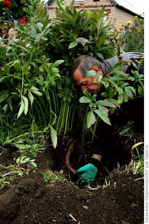 Дело шло медленно, но когти на рукавицах помогали освобождаться от чужих корней и нежно освобождать хрупкие корни пиона.