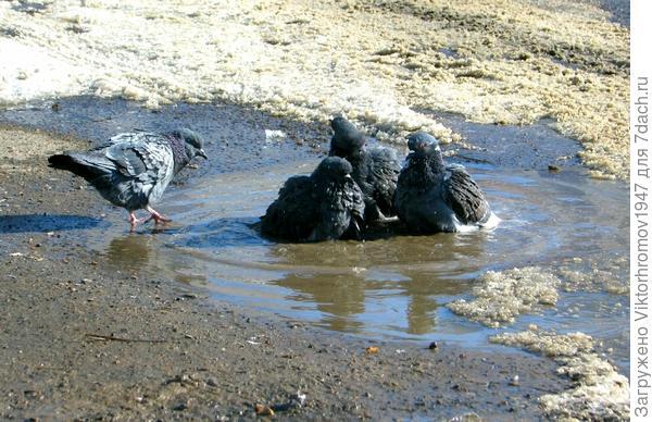 Вчера вечером в закутке (на солнышке) образовалась лужица и вот они первые купальщики... Всё таки она пришла, пока холодная но ВЕСНА!!!
