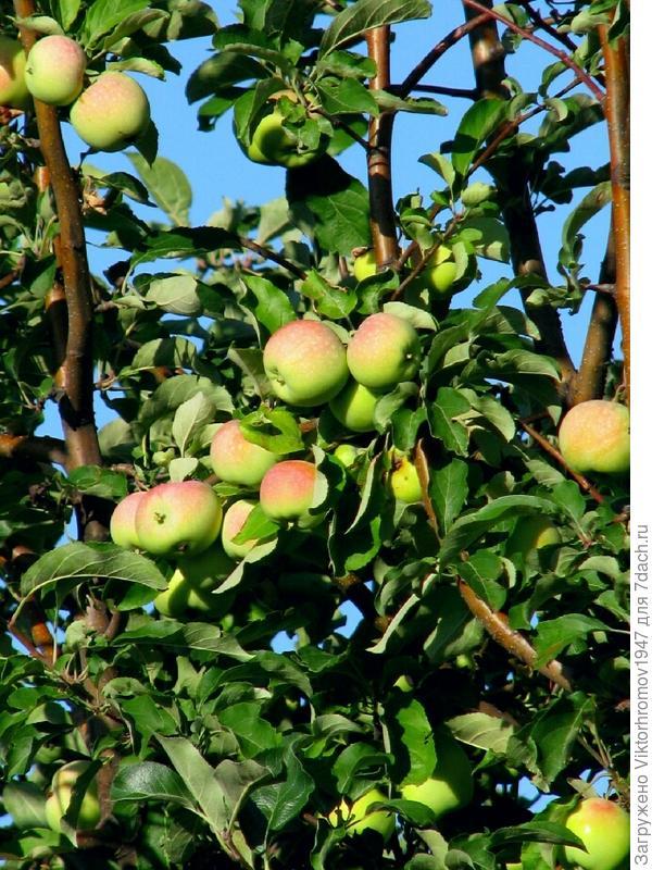 Сегодня Яблочный Спас. Скушал яблочко...