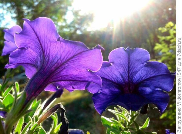 Утренними цветочками...