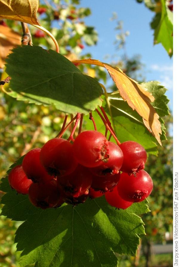 Как используют плоды и правильное название?