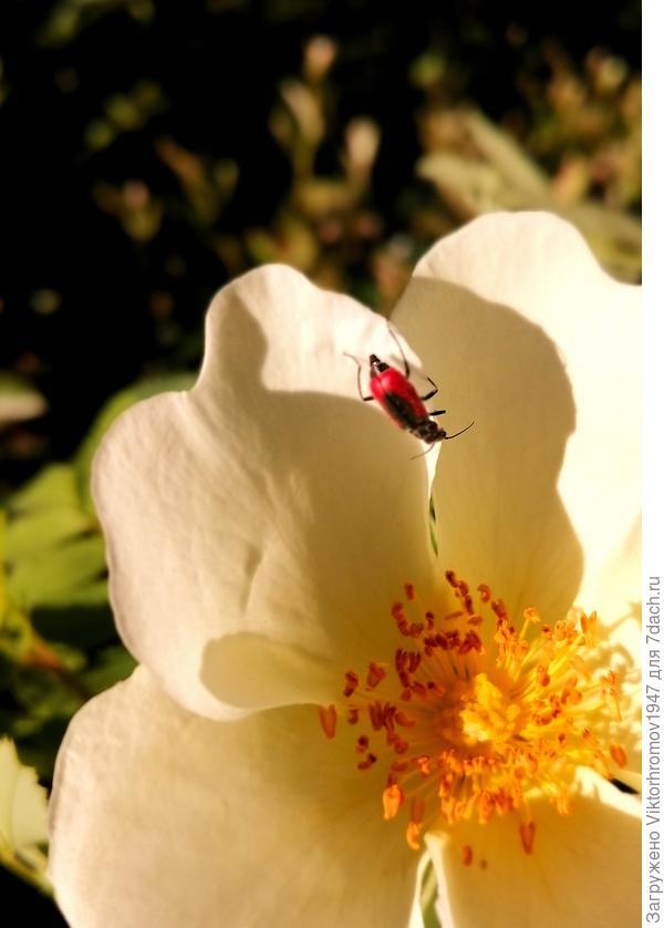 Пока заметил на цветке шиповника