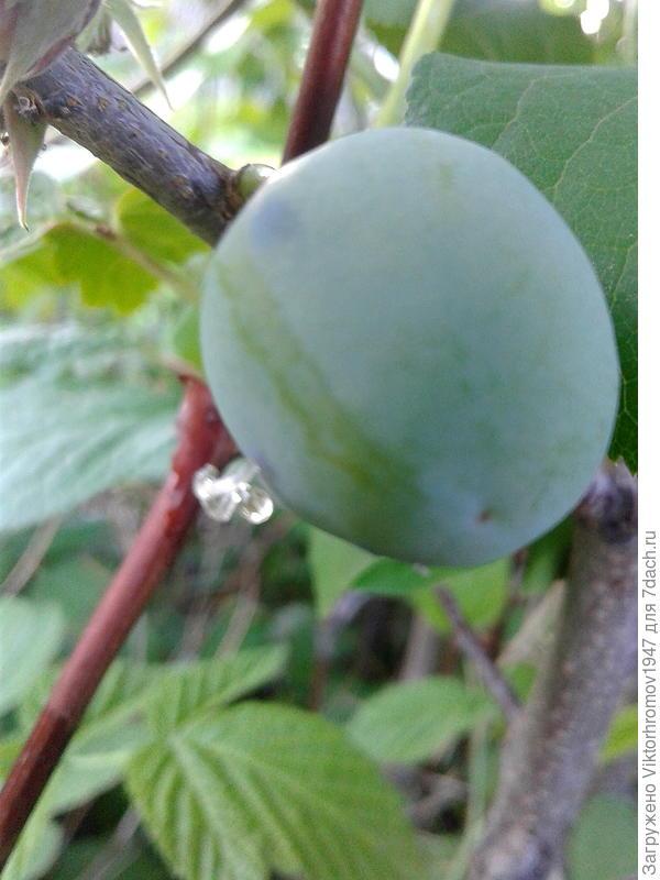Плоды ещё зелёные