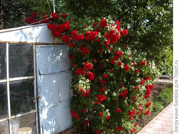 роза на теплице