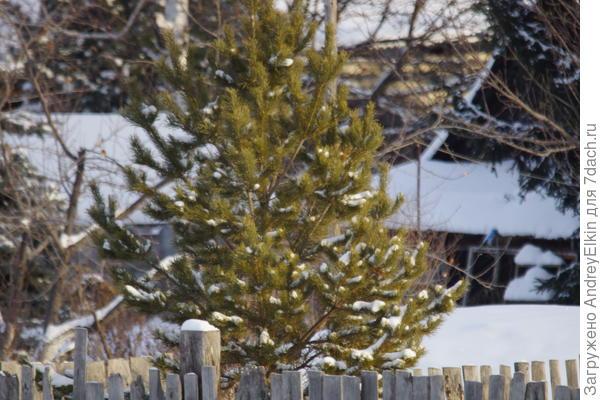 Елочки пушистые в нашем саду