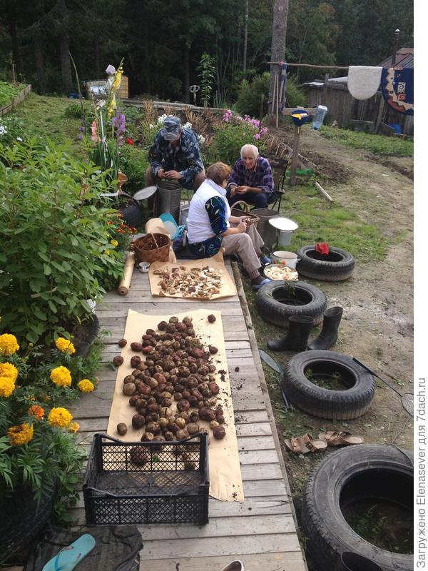 Первую картоху выкопали...а тут еще и грибы надо чистить...трудный денек выдался