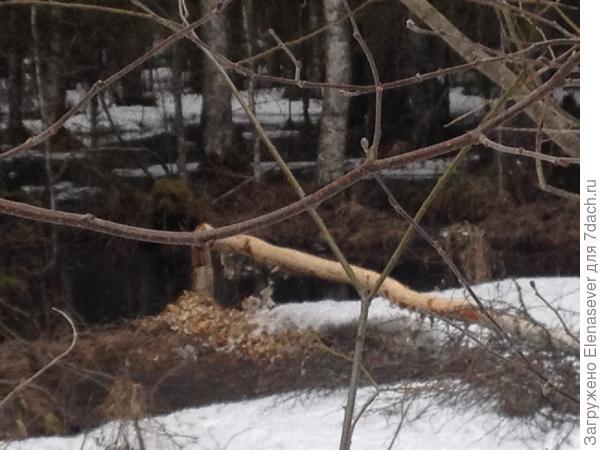 много деревьев погрызли