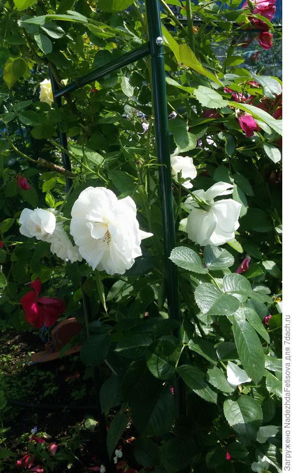 роза плетущаяся белая