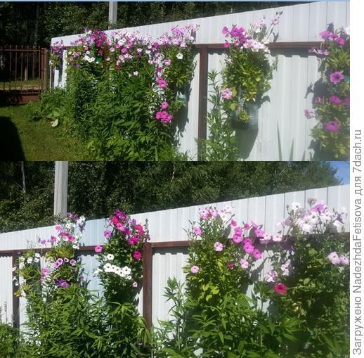 петунья на заборе