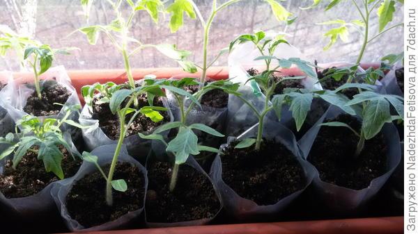 помидоры в пеленках