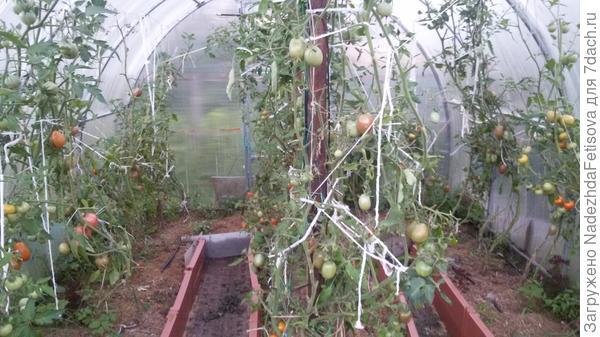 31 июля томаты спелые уже собраны