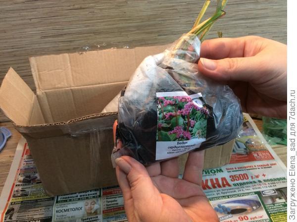 Бадан, через неделю появился первый листочек