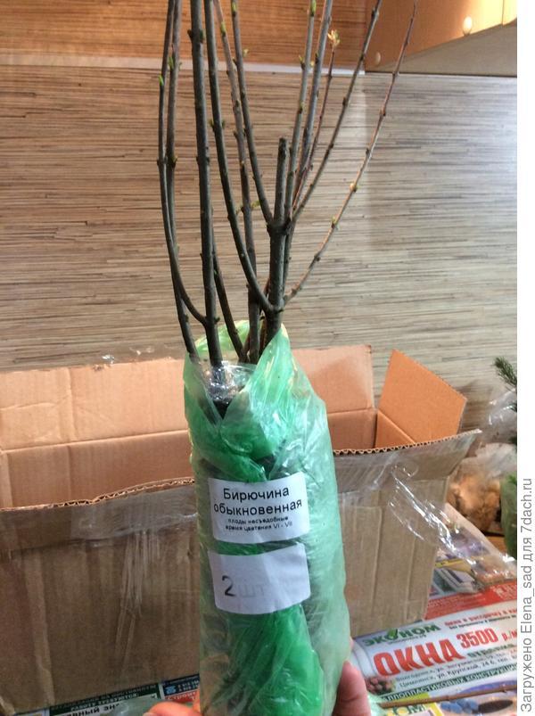 Бирючинах, сейчас дала много сочно-зелёных листочков, вся усыпана ими