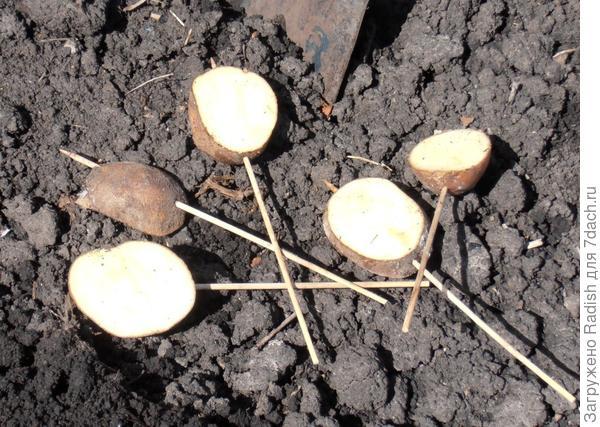 Ловушки с кусочками картофеля