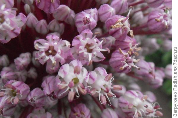 Цветы лука порея крупным планом