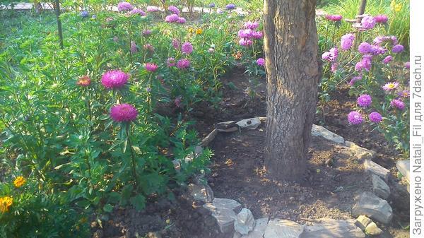 Оставили единственную старую яблоню на участке (рядом с домиком) и ничуть не пожалели. Весной она была вся в цвету, и радовала нас, а  ближе к осени порадовала нас изобилием чудесных яблочек. Под яблоней я посадила ранние  луковичные цветы - тюльпаны.