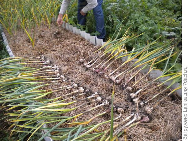 Прогоняем слизней с огорода экологическими, механическими и химическими способами
