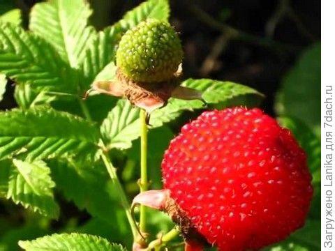Вот такая ягода.