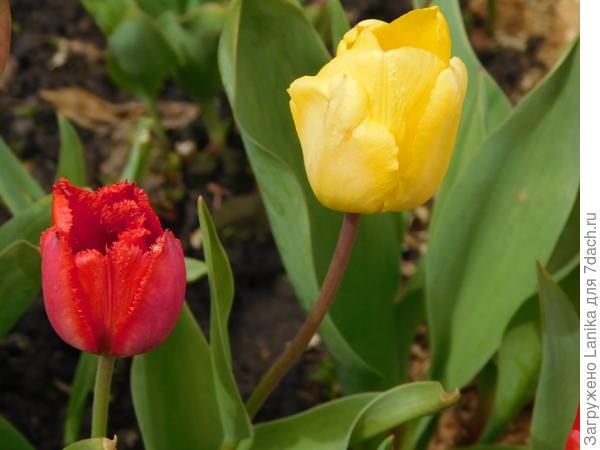 С трудом выжившие тюльпаны - позапрошлой осенью из-за работы не смогла высадить сотни две луковок. Зимовали на лоджии, к весне дали ростки и засохли. Весной просто высыпала засохшие луковицы в траншейку, они даже не взошли. А вот через год взошли, низенькие, мелкие, кривенькие... Не все, конечно, но я и этому рада.