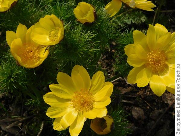 Этот цветочек (нашла одно из названий - горицвет) с крутого склона лугового оврага, живет у меня уже лет 8.