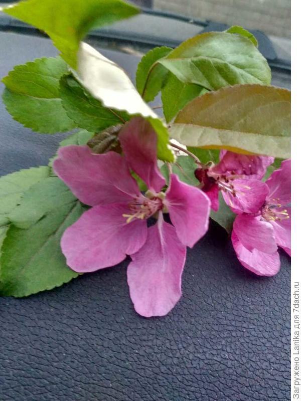 Цветы, диаметр раскрытого цветка 7 см.