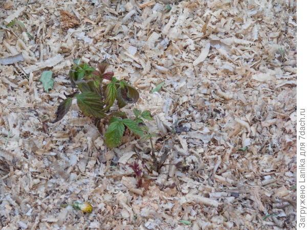 Прихватило листочки у всходов ремонтантной малины.