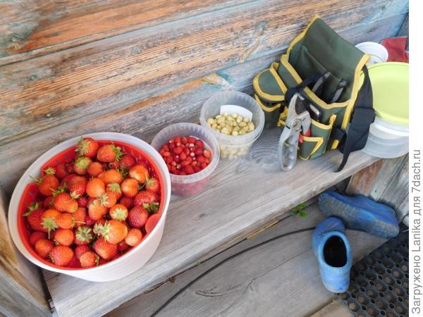 Единственная ягода в это лето, и то - 50% сгнивает, 20% съедают улитки...